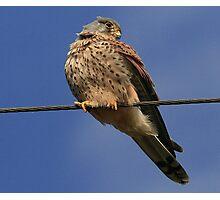 Holding The Line - Common Kestrel - None Captive Photographic Print