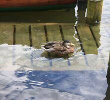 Duck in the Windermere  by fhcphotos