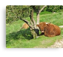 Shaggy cow story,close to Little Langdale Canvas Print