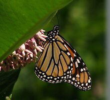 Just a Monarch by swaby