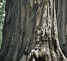Giant Sequoia by Phillip M. Burrow