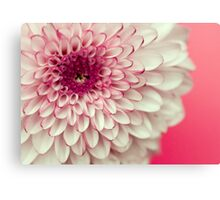 Pink & White Chrysanthemum Canvas Print