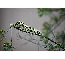 Swallowtail Caterpillar in Kansas Photographic Print