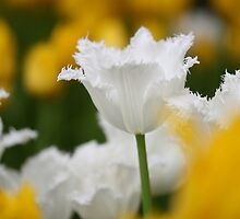 White fringed tulip among yellow tulips by Sarah Vilar