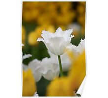 White fringed tulip among yellow tulips Poster