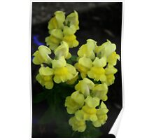 Yellow Snapdragons Poster