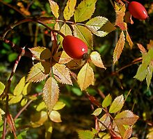 Autumn Rosehips by tracyallenreedy