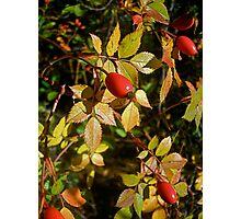 Autumn Rosehips Photographic Print