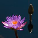 Water Lily Glow by John Griggs