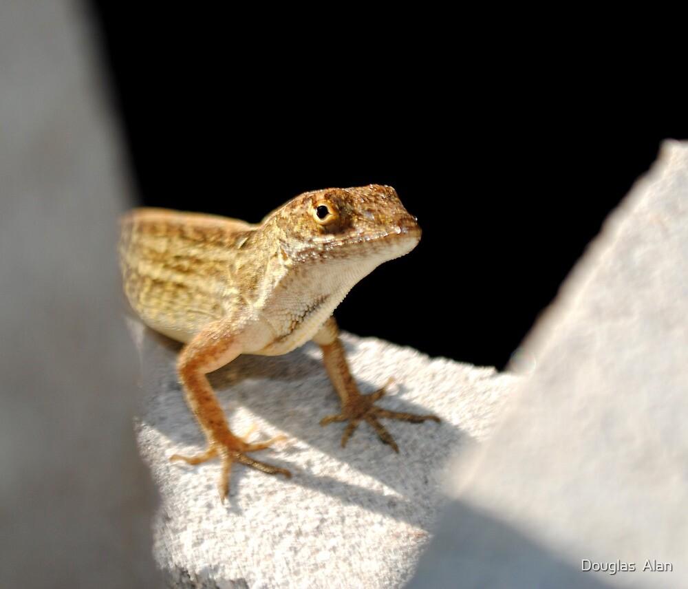 Backyard Mini Gator peekaboo! by Douglas  Alan
