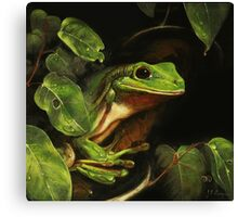 Green tree frog (Litoria caerulea) Canvas Print
