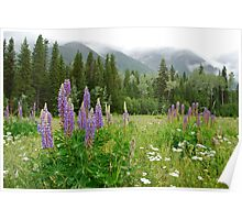 Lupines - Wildflower Meadow at Mt. Robson Poster