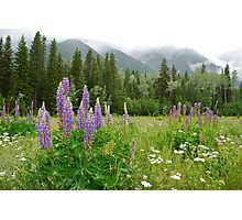 Lupines - Wildflower Meadow at Mt. Robson Photographic Print