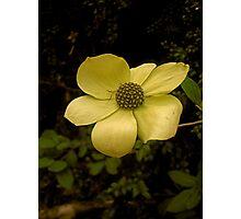 Dogwood Flower Photographic Print