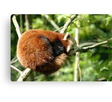 Red Panda - (Ailurus fulgens) Canvas Print