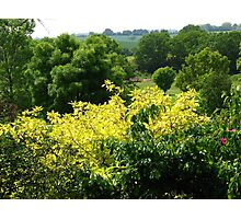 Bushes with Yellow Leaves - Hyde Hall Photographic Print