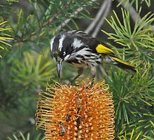 New Holland Honeyeater by Jeff Reid