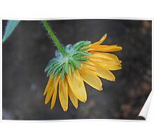 Dangling Daisy Poster