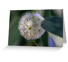 Eucalyptus racemosa Greeting Card