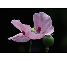 Pink Poppy and Pod Photographic Print