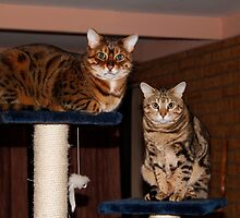 Rescue Bengal Rehab Success by Sandra Chung
