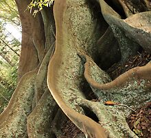 Grand old Moreton Bay Figs by oozeart