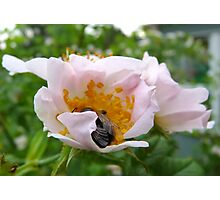 Wild Rose and Bee Photographic Print