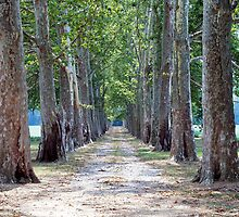 Tree Lined Lane by nastruck