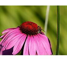 Visitor on a Coneflower Photographic Print