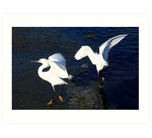 Snowy Egrets Courting Art Print