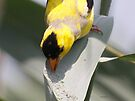 Awerican Goldfinch by Dennis Cheeseman
