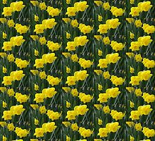 Sunny daffodils by Alison Murphy