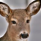 Whitetail Portrait by Larry Trupp