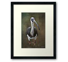 Threskiornis spinicollis  Framed Print