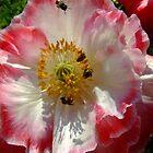 Popular Poppy by Antionette