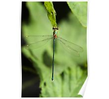 Male Willow Emerald Poster