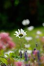 Daisy in a cottage garden, Bristol UK by buttonpresser