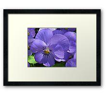 Purple Pansies Framed Print
