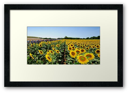 Sunflowers by Eamon Fitzpatrick