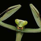 giant asian mantis threat pose by Scott Thompson