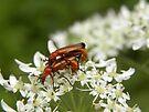 Mating Red Soldier Beetles by rhian mountjoy