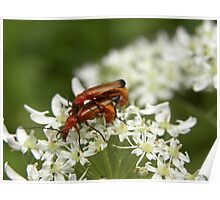 Mating Red Soldier Beetles Poster