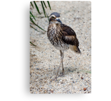 Cross your Legs -  curlew in Cairns Canvas Print
