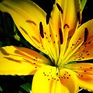 Yellow Lilly at Sunset by AngryGoldfish