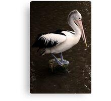 Balancing Act - pelican in Cairns Canvas Print