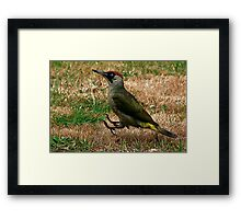 Caught On The Hop - Green Woodpecker Framed Print