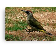 Caught On The Hop - Green Woodpecker Canvas Print