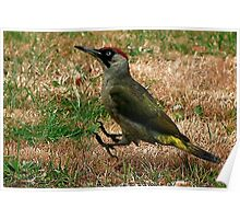 Caught On The Hop - Green Woodpecker Poster