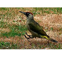 Caught On The Hop - Green Woodpecker Photographic Print