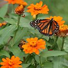 A Monarch Making the Rounds by Laurel Talabere